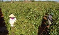Pepper exports soar but stocks left bare