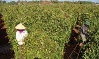 Pepper exports soar but stocks left bare