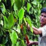 Viet Nam still world's No 1 pepper exporter